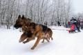 Турнир для владельцев ездовых собак